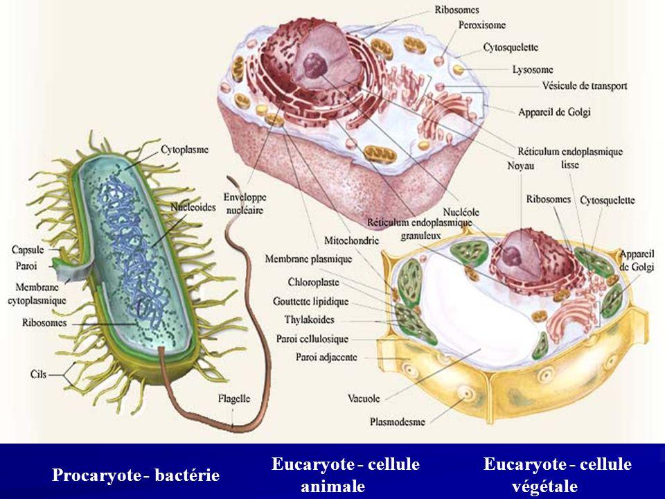 Eucaryote - cellule végétale Eucaryote - cellule animale