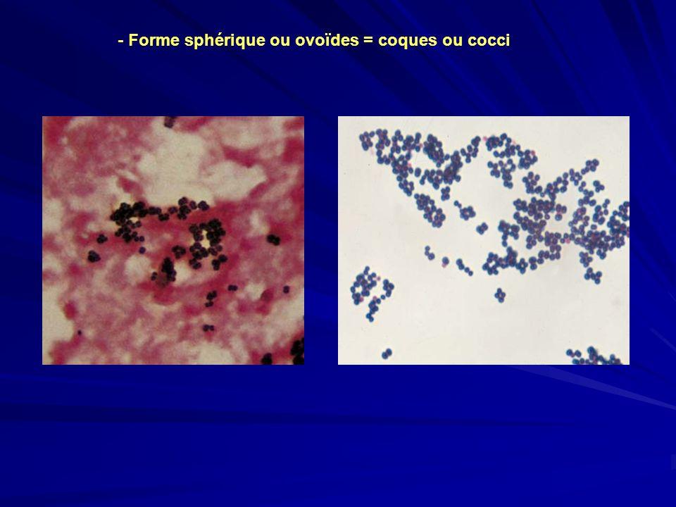 - Forme sphérique ou ovoïdes = coques ou cocci