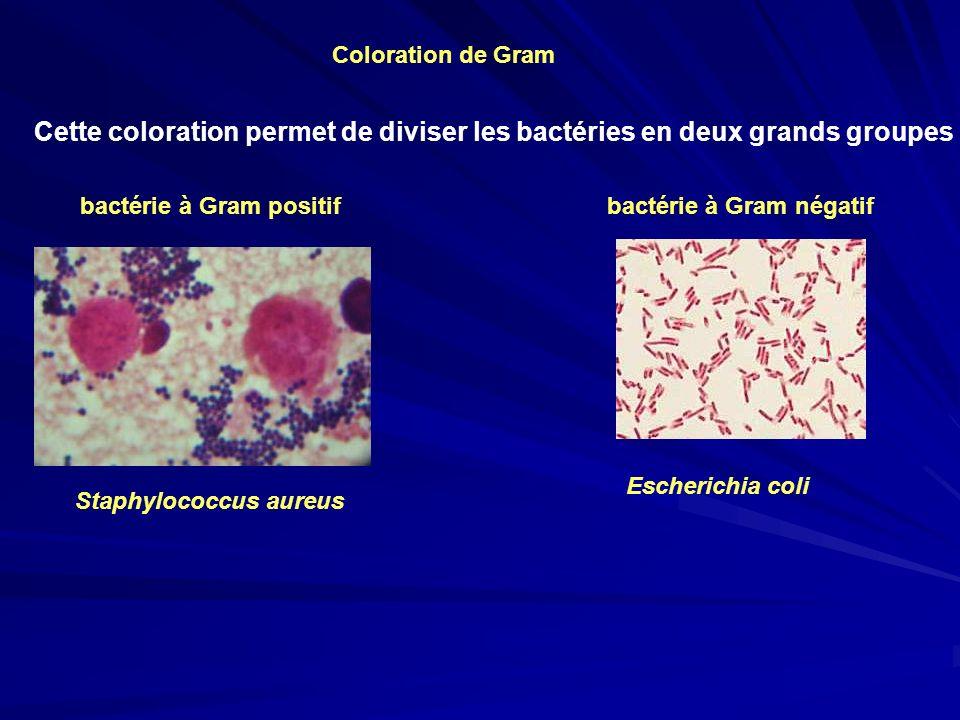 Coloration de Gram Cette coloration permet de diviser les bactéries en deux grands groupes.