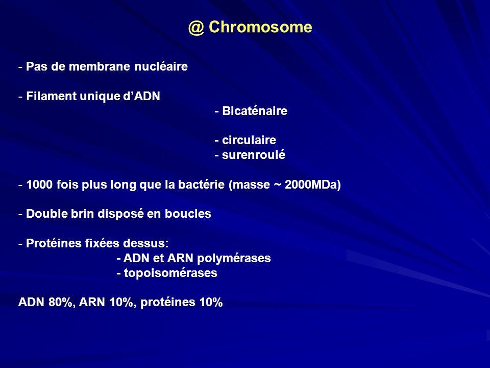 @ Chromosome Pas de membrane nucléaire Filament unique d'ADN