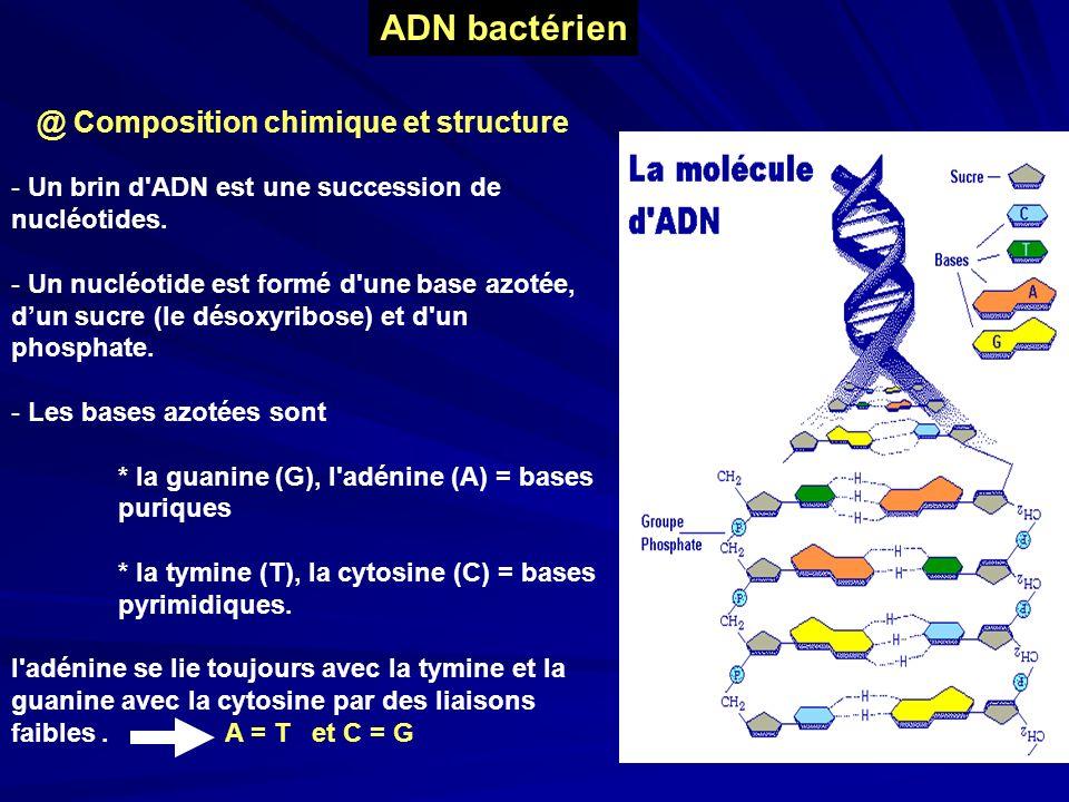 ADN bactérien @ Composition chimique et structure