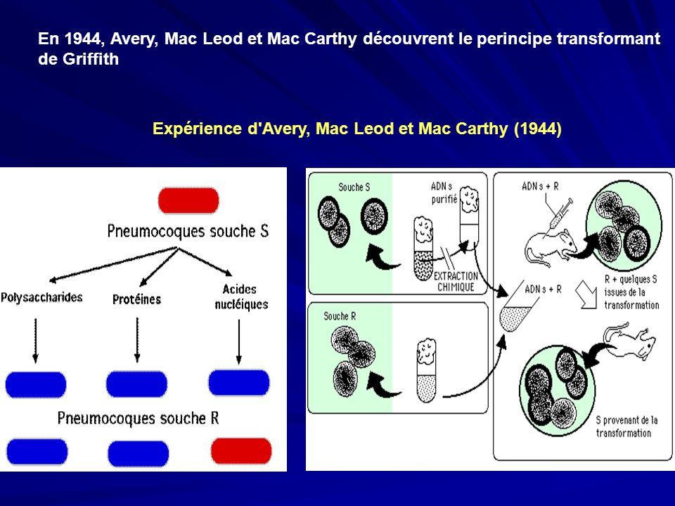 En 1944, Avery, Mac Leod et Mac Carthy découvrent le perincipe transformant