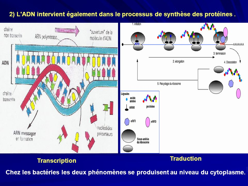 2) L ADN intervient également dans le processus de synthèse des protéines.