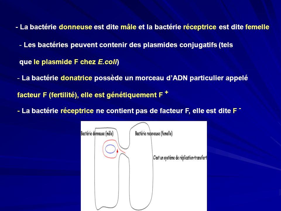 - La bactérie donneuse est dite mâle et la bactérie réceptrice est dite femelle
