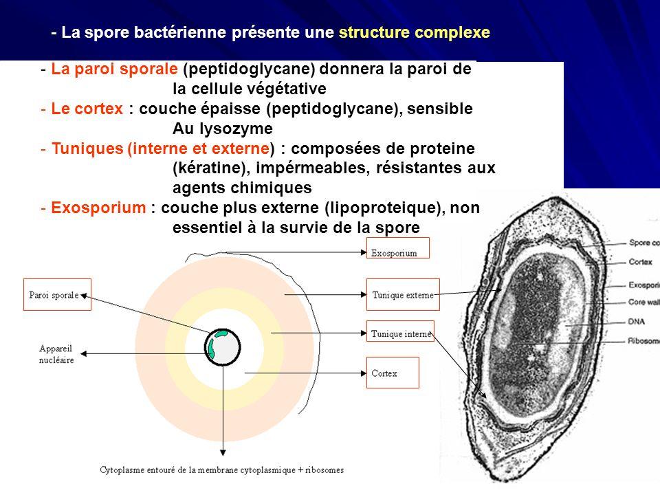 - La spore bactérienne présente une structure complexe