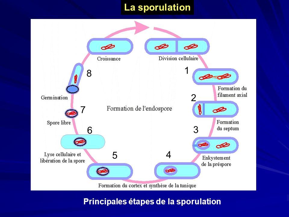 La sporulation 1 8 2 7 6 3 5 4 Principales étapes de la sporulation