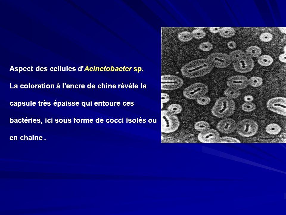Aspect des cellules d Acinetobacter sp.