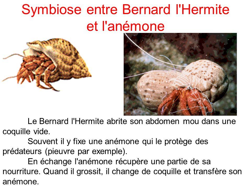 Symbiose entre Bernard l Hermite et l anémone