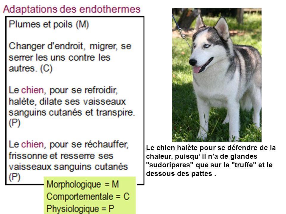 Arial NarrowLe chien halète pour se défendre de la chaleur, puisqu' il n a de glandes sudoripares que sur la truffe et le dessous des pattes .