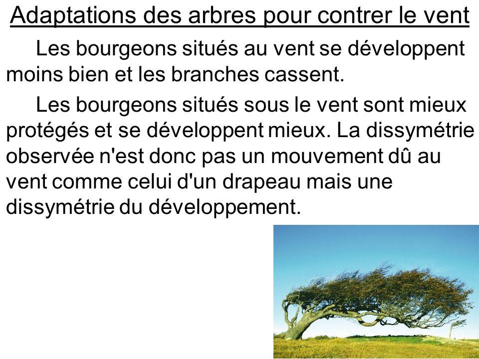 Adaptations des arbres pour contrer le vent