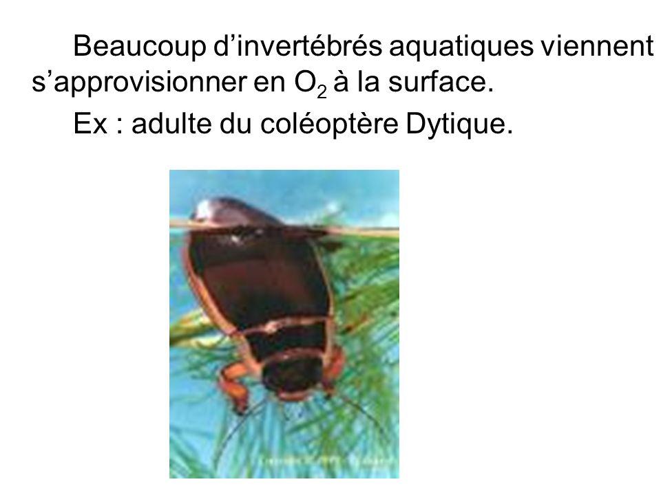 Beaucoup d'invertébrés aquatiques viennent s'approvisionner en O2 à la surface.