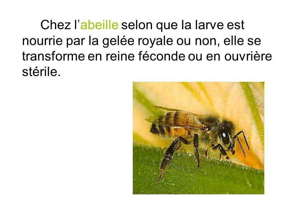 Chez l'abeille selon que la larve est nourrie par la gelée royale ou non, elle se transforme en reine féconde ou en ouvrière stérile.