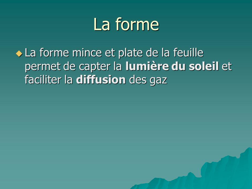 La formeLa forme mince et plate de la feuille permet de capter la lumière du soleil et faciliter la diffusion des gaz.