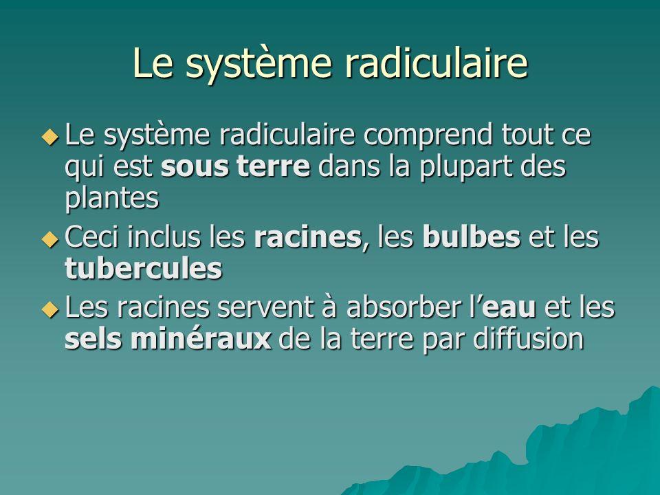 Le système radiculaire
