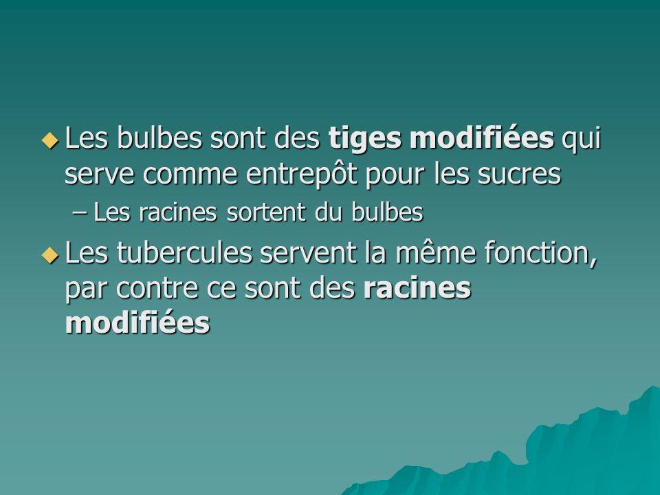 Les bulbes sont des tiges modifiées qui serve comme entrepôt pour les sucres