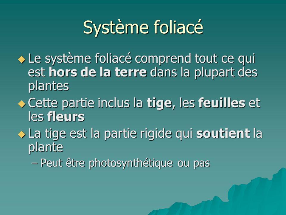 Système foliacé Le système foliacé comprend tout ce qui est hors de la terre dans la plupart des plantes.