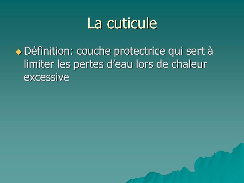 La cuticuleDéfinition: couche protectrice qui sert à limiter les pertes d'eau lors de chaleur excessive.