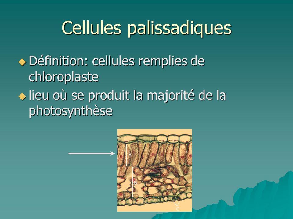 Cellules palissadiques