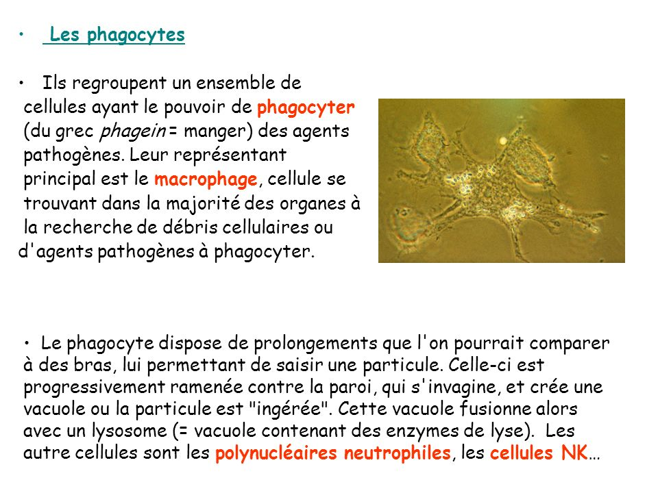 Les phagocytes Ils regroupent un ensemble de. cellules ayant le pouvoir de phagocyter. (du grec phagein = manger) des agents.