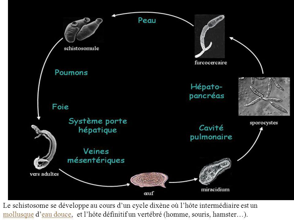 Le schistosome se développe au cours d'un cycle dixène où l'hôte intermédiaire est un mollusque d'eau douce, et l'hôte définitif un vertébré (homme, souris, hamster…).