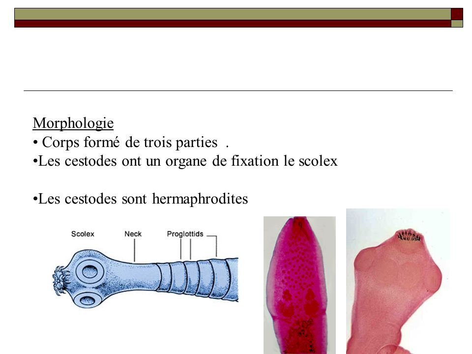 Morphologie Corps formé de trois parties . Les cestodes ont un organe de fixation le scolex.