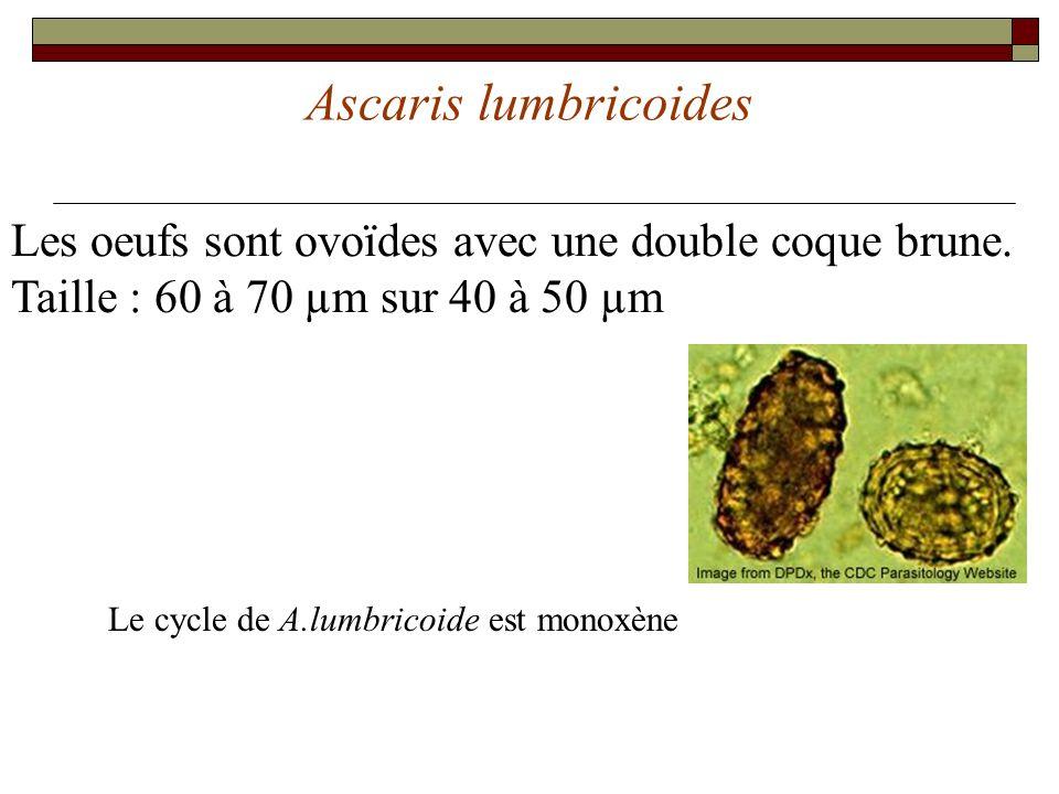 Ascaris lumbricoides Les oeufs sont ovoïdes avec une double coque brune. Taille : 60 à 70 µm sur 40 à 50 µm.