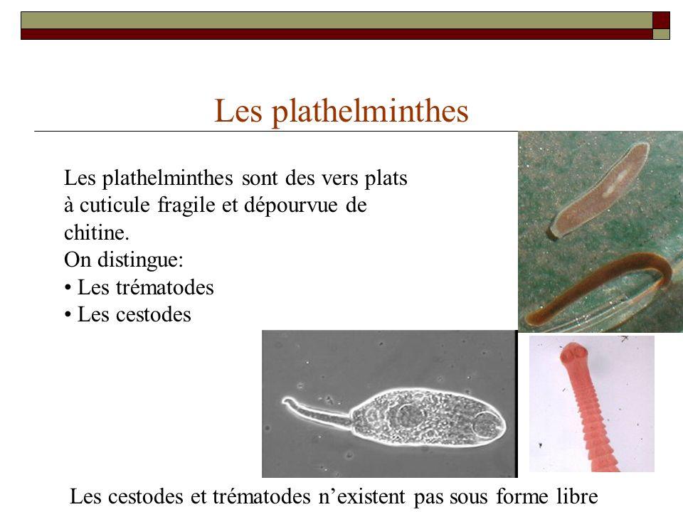 Les plathelminthes Les plathelminthes sont des vers plats à cuticule fragile et dépourvue de chitine.