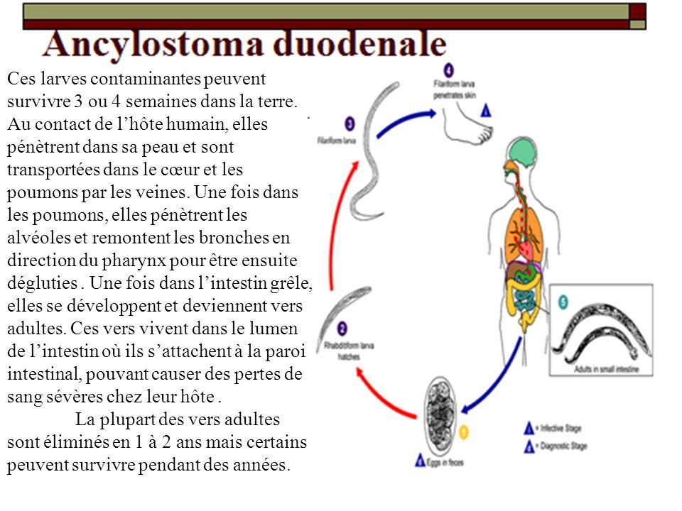 Ces larves contaminantes peuvent survivre 3 ou 4 semaines dans la terre. Au contact de l'hôte humain, elles pénètrent dans sa peau et sont transportées dans le cœur et les poumons par les veines. Une fois dans les poumons, elles pénètrent les alvéoles et remontent les bronches en direction du pharynx pour être ensuite dégluties . Une fois dans l'intestin grêle, elles se développent et deviennent vers adultes. Ces vers vivent dans le lumen de l'intestin où ils s'attachent à la paroi intestinal, pouvant causer des pertes de sang sévères chez leur hôte .
