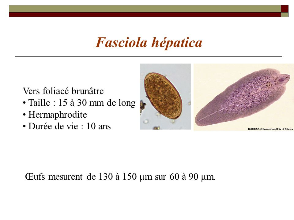 Fasciola hépatica Vers foliacé brunâtre Taille : 15 à 30 mm de long