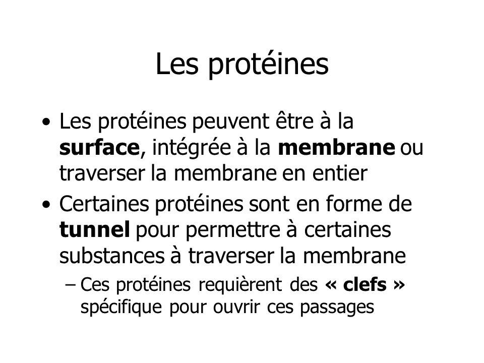 Les protéines Les protéines peuvent être à la surface, intégrée à la membrane ou traverser la membrane en entier.