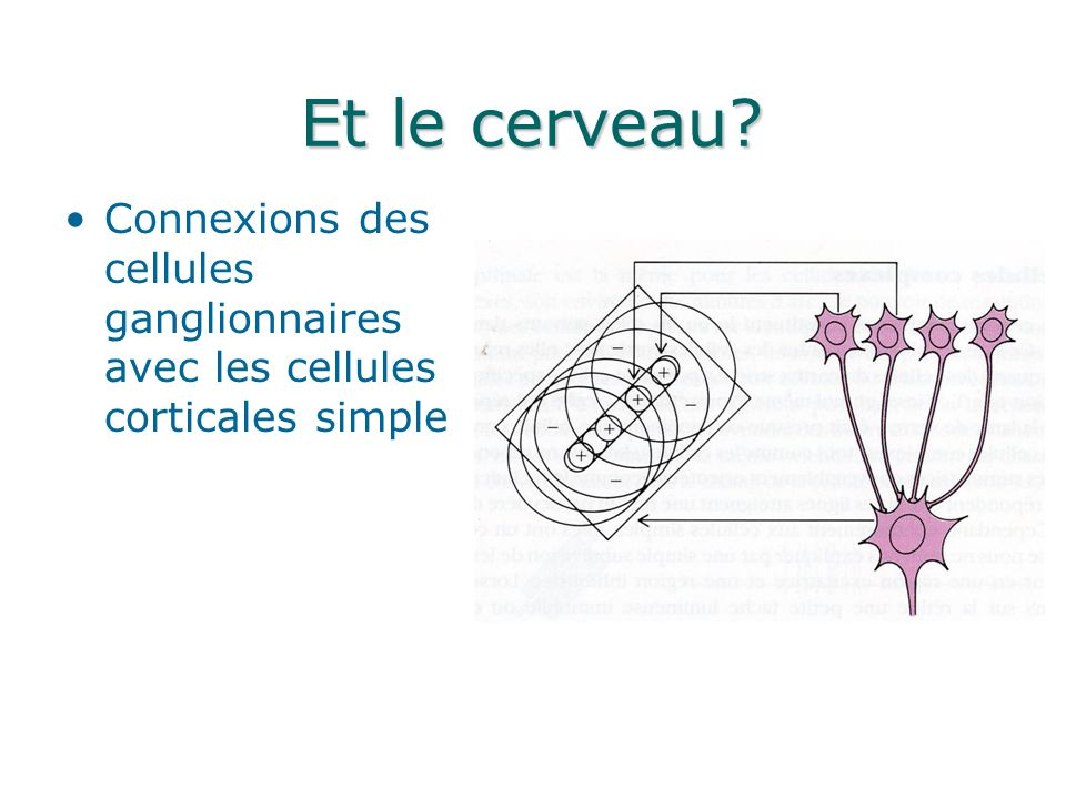 Et le cerveau Connexions des cellules ganglionnaires avec les cellules corticales simple
