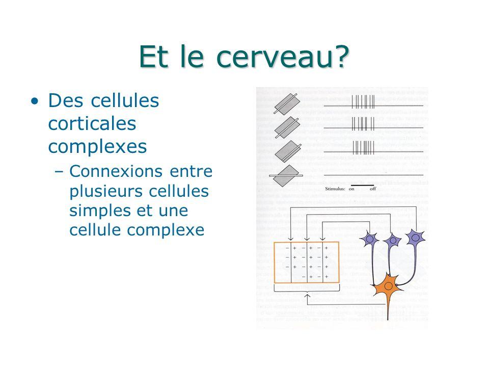 Et le cerveau Des cellules corticales complexes