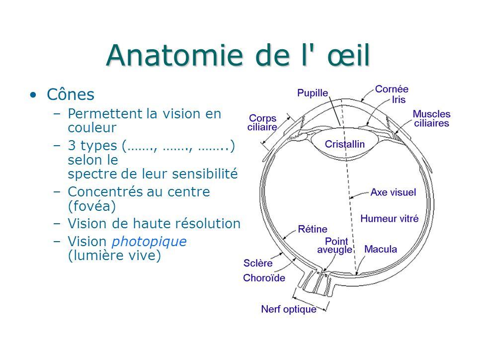 Anatomie de l œil Cônes Permettent la vision en couleur