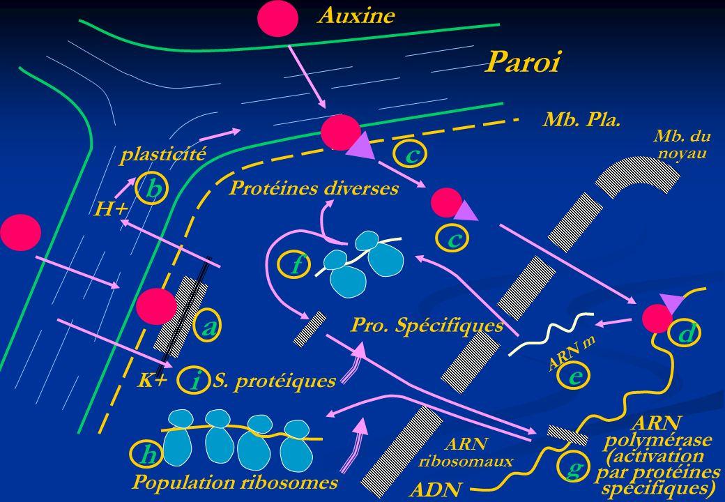 Paroi a c b c f d e i h Auxine g Mb. Pla. plasticité
