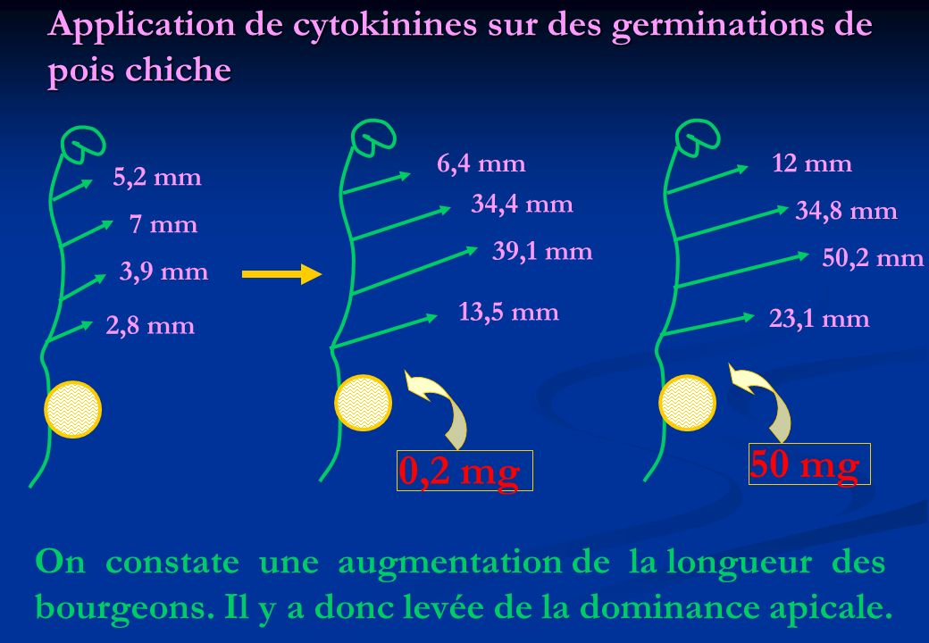 Application de cytokinines sur des germinations de pois chiche