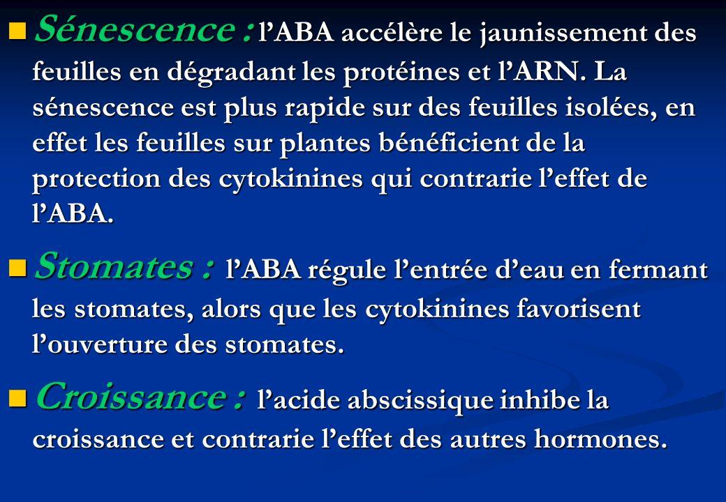 Sénescence : l'ABA accélère le jaunissement des feuilles en dégradant les protéines et l'ARN. La sénescence est plus rapide sur des feuilles isolées, en effet les feuilles sur plantes bénéficient de la protection des cytokinines qui contrarie l'effet de l'ABA.