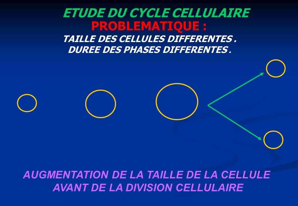 ETUDE DU CYCLE CELLULAIRE PROBLEMATIQUE :
