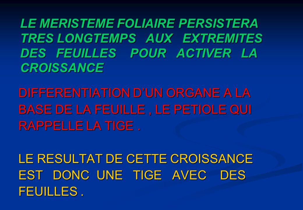 LE MERISTEME FOLIAIRE PERSISTERA TRES LONGTEMPS AUX EXTREMITES DES FEUILLES POUR ACTIVER LA CROISSANCE