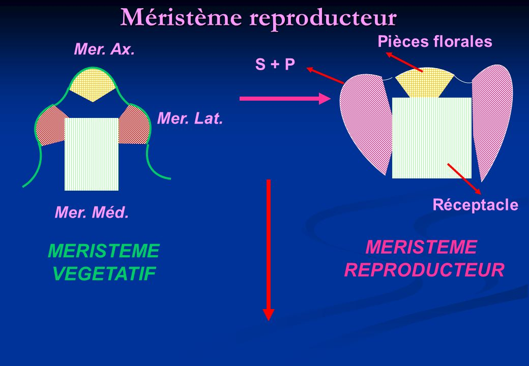 Méristème reproducteur