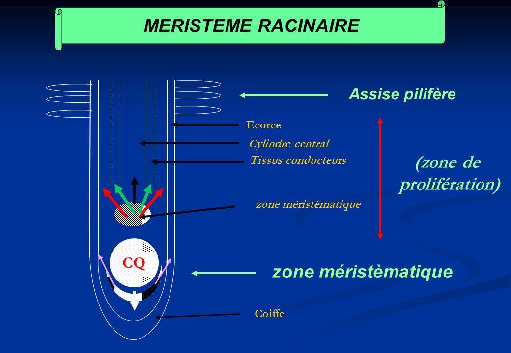 MERISTEME RACINAIRE (zone de prolifération) zone méristèmatique