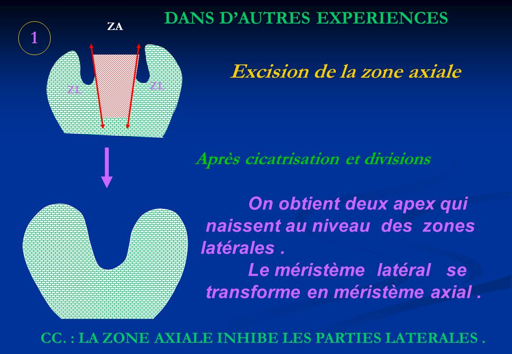 Excision de la zone axiale