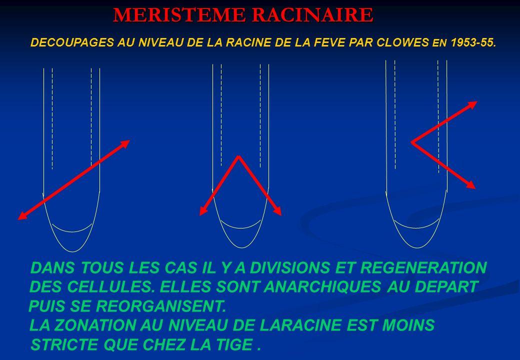 MERISTEME RACINAIRE DANS TOUS LES CAS IL Y A DIVISIONS ET REGENERATION