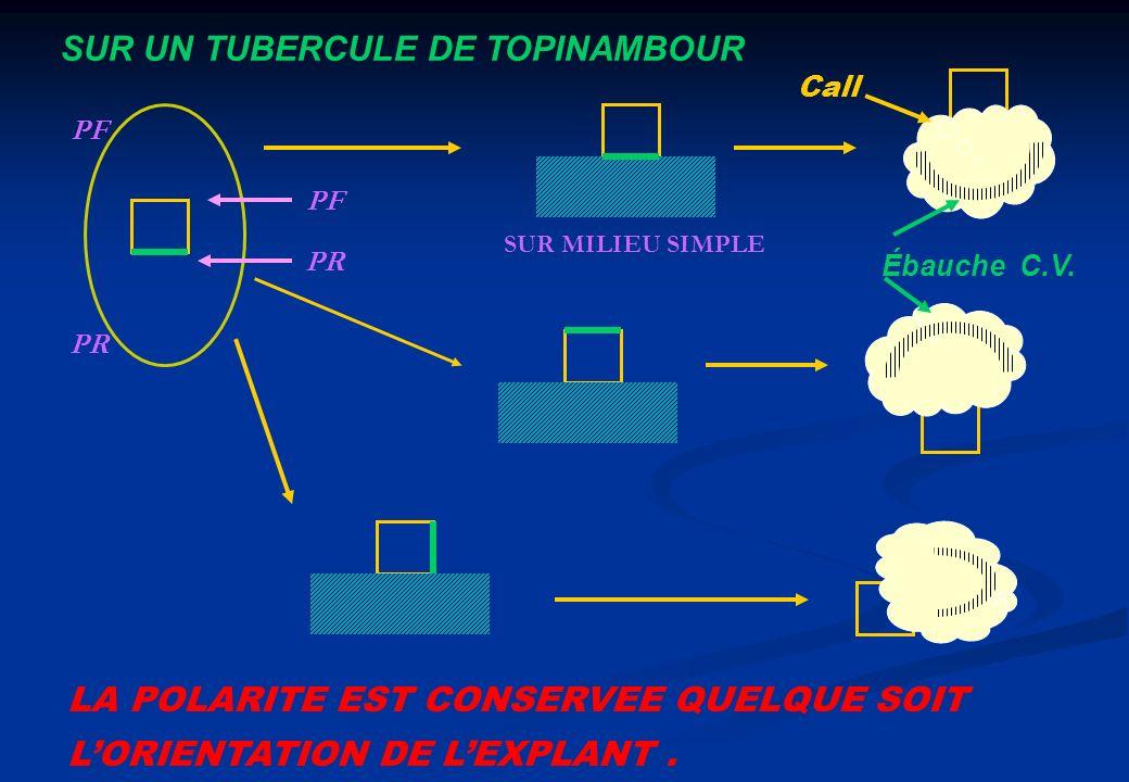 SUR UN TUBERCULE DE TOPINAMBOUR