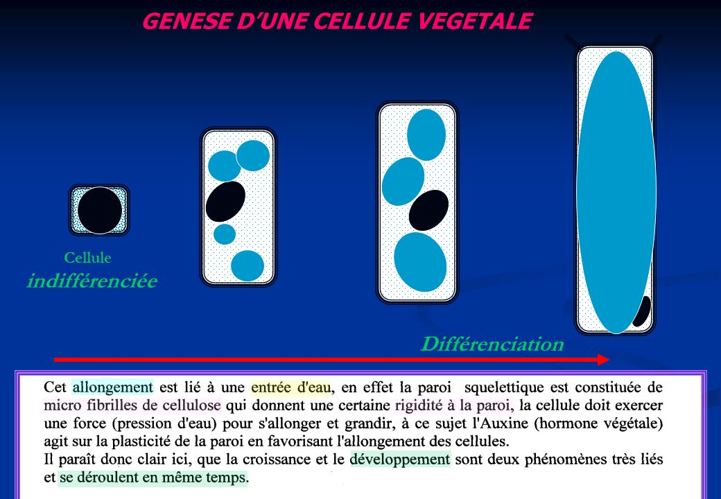 GENESE D'UNE CELLULE VEGETALE
