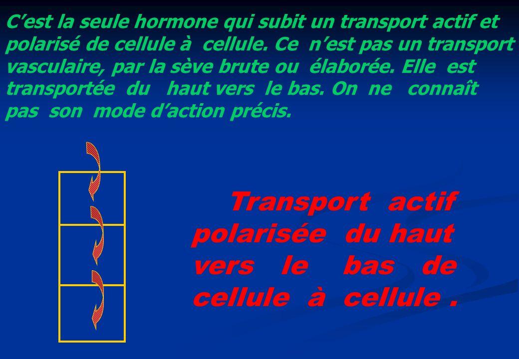 Transport actif polarisée du haut vers le bas de cellule à cellule .
