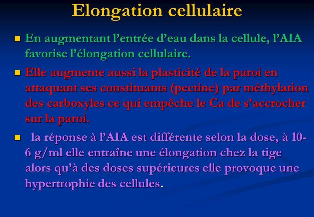Elongation cellulaire