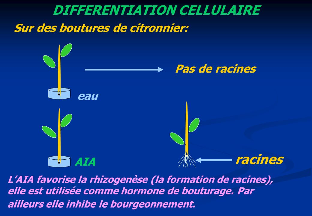 DIFFERENTIATION CELLULAIRE Sur des boutures de citronnier: