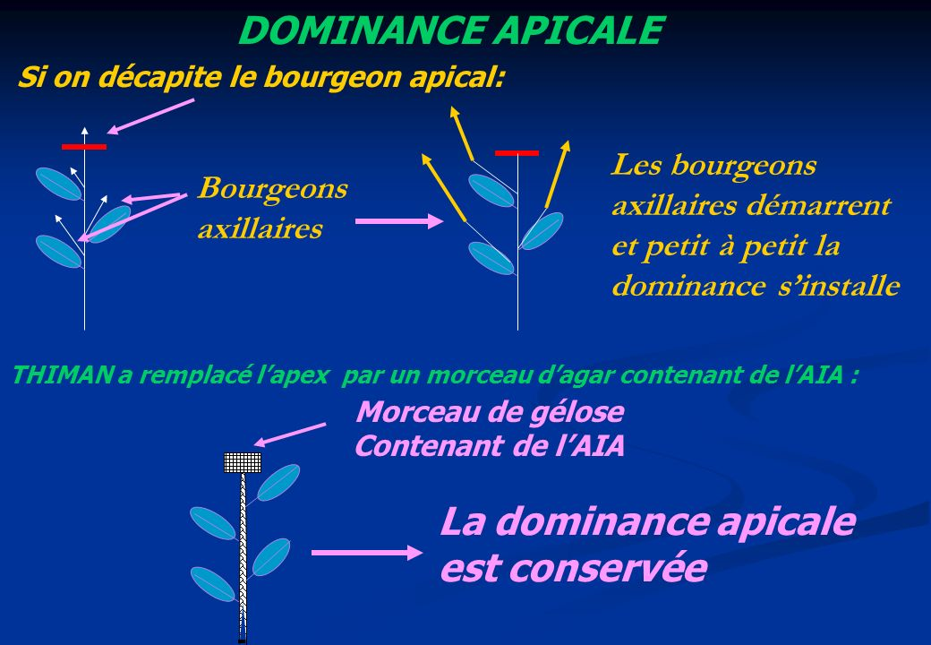 Si on décapite le bourgeon apical: