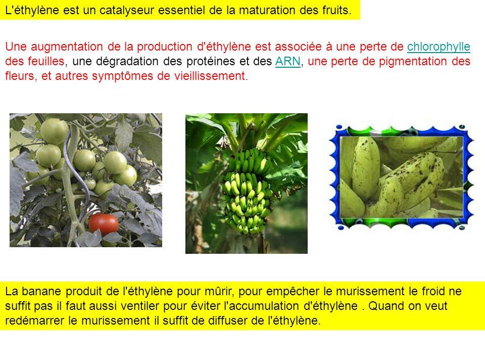 L éthylène est un catalyseur essentiel de la maturation des fruits.