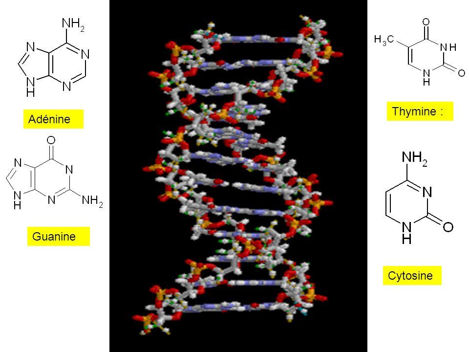 Thymine : Adénine Guanine Cytosine